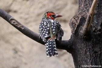 Flammenkopf-Bartvogel (Trachyphonus erythrocephalus)