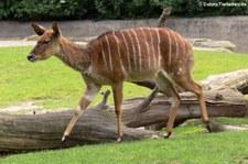 Weiblicher Nyala (Tragelaphus angasii) im Zoologischen Garten Berlin