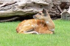 Wald-Sitatunga (Tragelaphus spekii gratus) im Zoologischen Garten Berlin