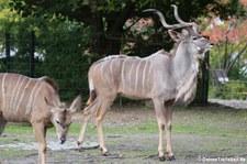 Großer Kudu (Tragelaphus strepsiceros) im Zoologischen Garten Berlin