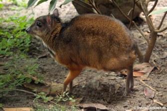 Kleinkantschil (Tragulus kanchil)