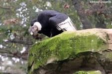 Andenkondor (Vultur gryphus) im Zoologischen Garten Berlin
