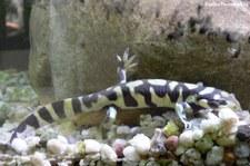 Tigersalamander (Ambystoma tigrinum) im Forschungsmuseum Alexander Koenig, Bonn