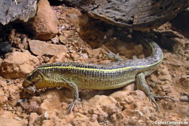 Gerrhosaurus flavigularis