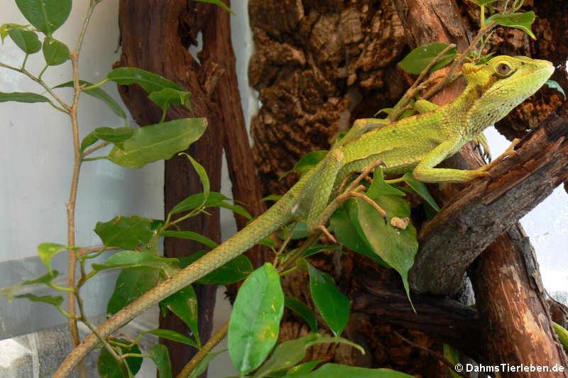 Laemanctus longipes