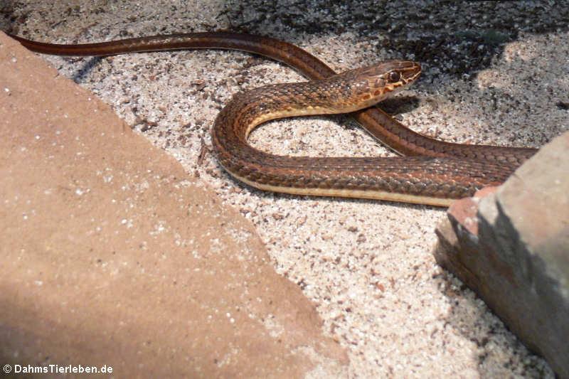 Psammophis sudanensis