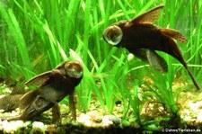 Tüpfelantennenwelse (Ancistrus hoplogenys) im Zoo Dortmund