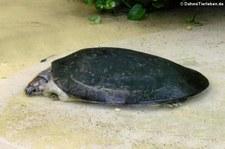 Arrauschildkröten (Podocnemis expansa) im Zoo Dortmund
