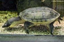 Salvins Kreuzbrustschildkröte (Staurotypus salvinii) im Zoo Dortmund