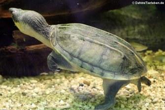 Salvins Kreuzbrustschildkröte (Staurotypus salvinii)