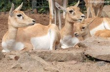 Hirschziegenantilopen (Antilope cervicapra) im Zoo Dortmund