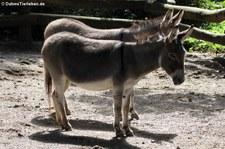 Afrikanische Hausesel im Zoo Dortmund