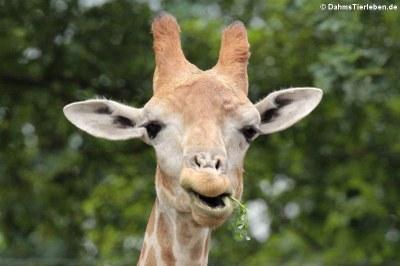 Giraffa camelopardalis angolensis (Angola-Giraffe)