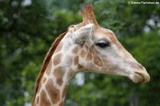 Angola-Giraffe (Giraffa camelopardalis angolensis) im Zoo Dortmund