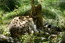 Serval (Leptailurus serval) im Zoo Dortmund