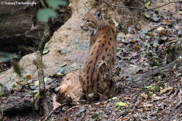 Lynx lynx carpathicus