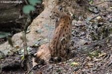 Karpatenluchse (Lynx lynx carpathicus) im Zoo Dortmund