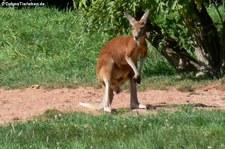 Rotes Riesenkänguru (Osphranter rufus) im Zoo Dortmund
