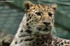 Amurleopard (Panthera pardus orientalis) im Zoo Dortmund