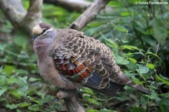 Bronzeflügeltaube (Phaps chalcoptera)