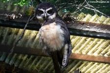 Brillenkauz (Pulsatrix perspicillata) im Zoo Dortmund