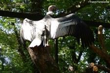 Andenkondor (Vultur gryphus) im Zoo Dortmund