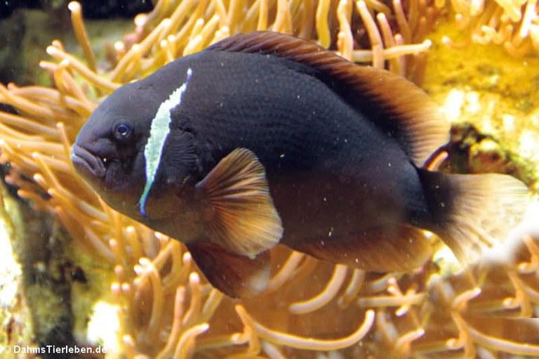 Amphiprion frenatus