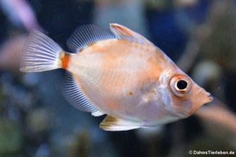 Eberfisch (Capros aper)