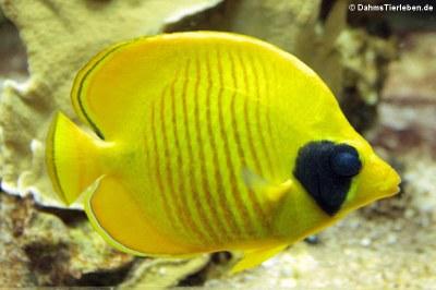 Maskenfalterfisch (Chaetodon semilarvatus)