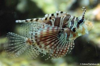 Zebra-Zwergfeuerfisch (Dendrochirus zebra)