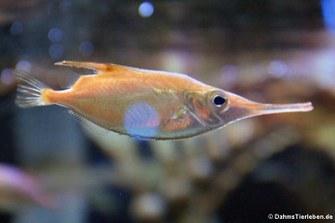Schnepfenfisch (Macroramphosus scolopax)