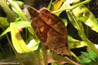 Blattfisch (Monocirrhus polyacanthus)