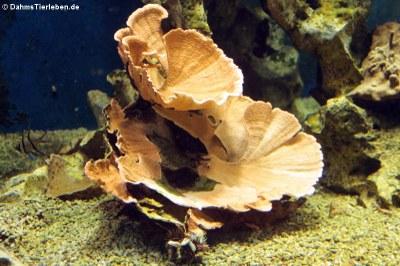 Steinkoralle oder Porenkoralle (Montipora spec)