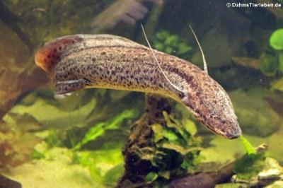 Westafrikanischer Lungenfisch (Protopterus annectens)