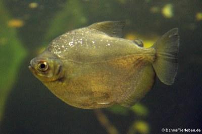 Piranha (Serrasalmus maculatus)