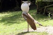 Koritrappe (Ardeotis kori) im Zoo Duisburg