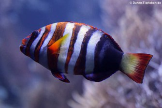 Harlekin-Lippfisch (Choerodon fasciatus)
