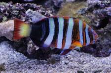 Harlekin-Lippfisch (Choerodon fasciatus) im Zoo Duisburg