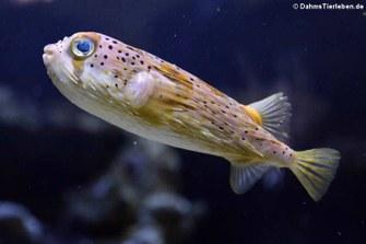Braunflecken-Igelfisch (Diodon holocanthus)