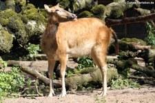 Davidshirsch (Elaphurus davidianus) im Zoo Duisburg