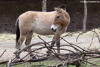 Przewalski-Pferd (Equus ferus przewalski)