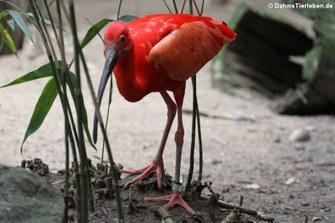Roter Sichler (Eudocimus ruber)