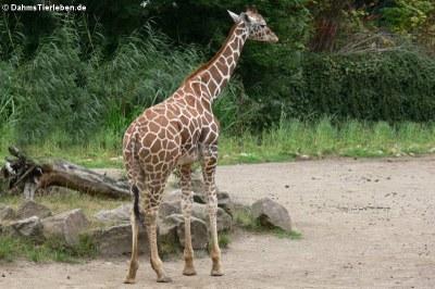Netzgiraffe (Giraffa reticulata)