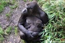 Westlicher Flachlandgorilla (Gorilla gorilla gorilla) im Zoo Duisburg