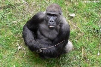 Westlicher Flachlandgorilla mit Nachwuchs (Gorilla gorilla gorilla)