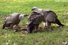 Gänsegeier (Gyps fulvus) im Zoo Duisburg