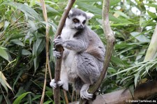 Katta (Lemur catta) im Zoo Duisburg