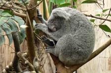 Nördlicher Koala (Phascolarctos cinereus cinereus) im Zoo Duisburg