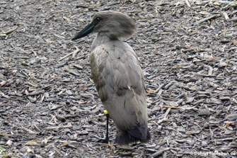 Hammerkopf (Scopus umbretta)