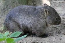 Nacktnasenwombat (Vombatus ursinus hirsutus) im Zoo Duisburg
